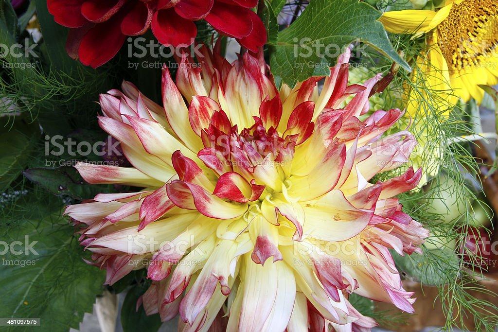 Dahlia royalty-free stock photo