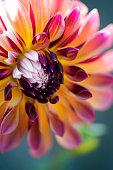 Beautiful, multicoloured Dahlia