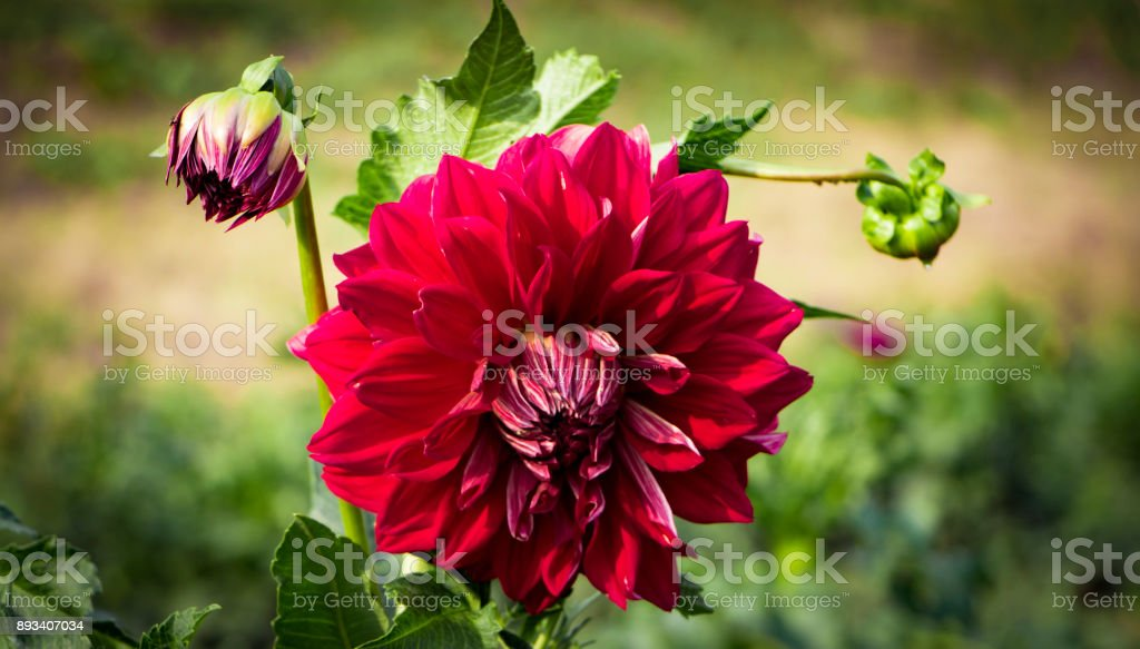 Dahlia Pinnata is a bright red large flower. Ornamental stock photo