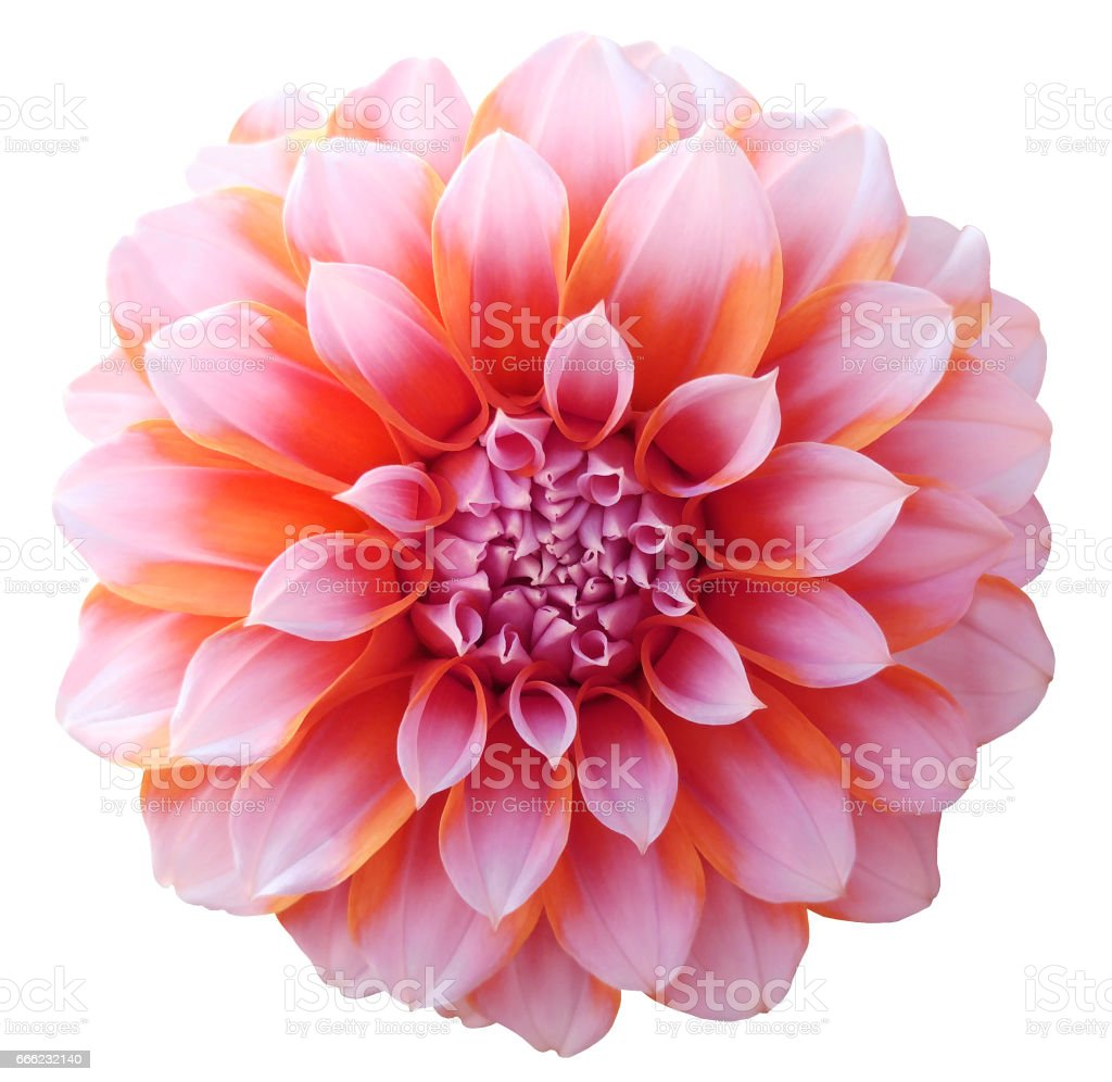 Dahlia Red Orange Flower Variegated Flower White Background Isolated