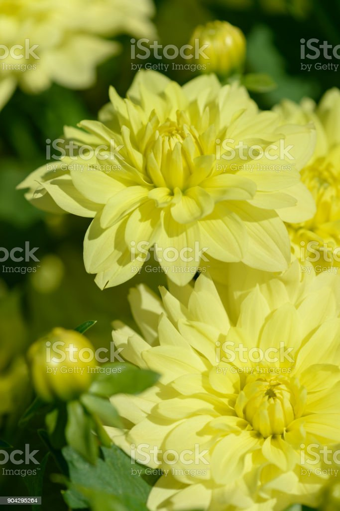 Dahlia White And Yellow Flower Field Of Beautiful Blooming Pink
