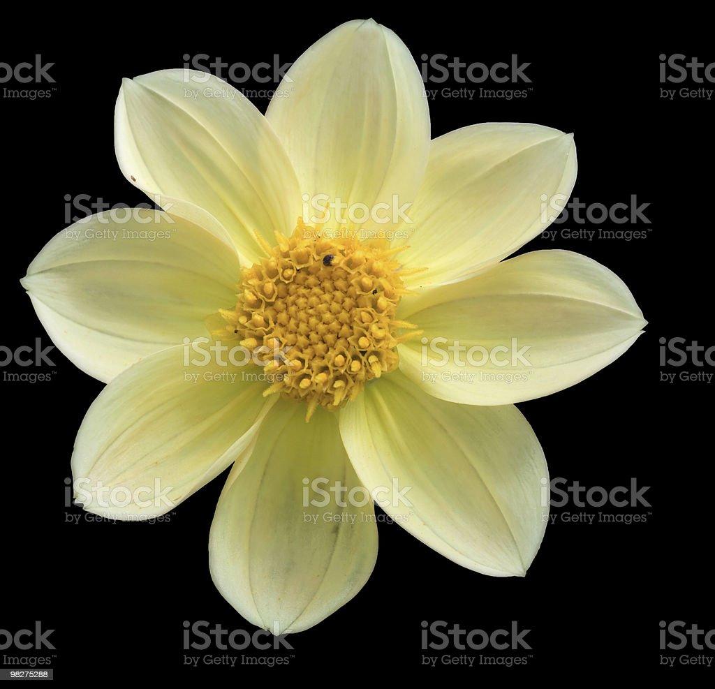 Dahlia yellow royalty-free stock photo