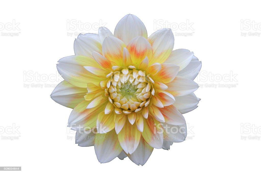 Dahlia yellow white stock photo