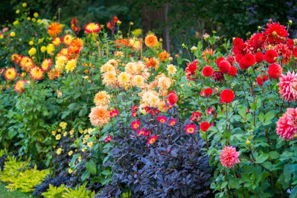 dahlia's flowerbed - dahlia stockfoto's en -beelden