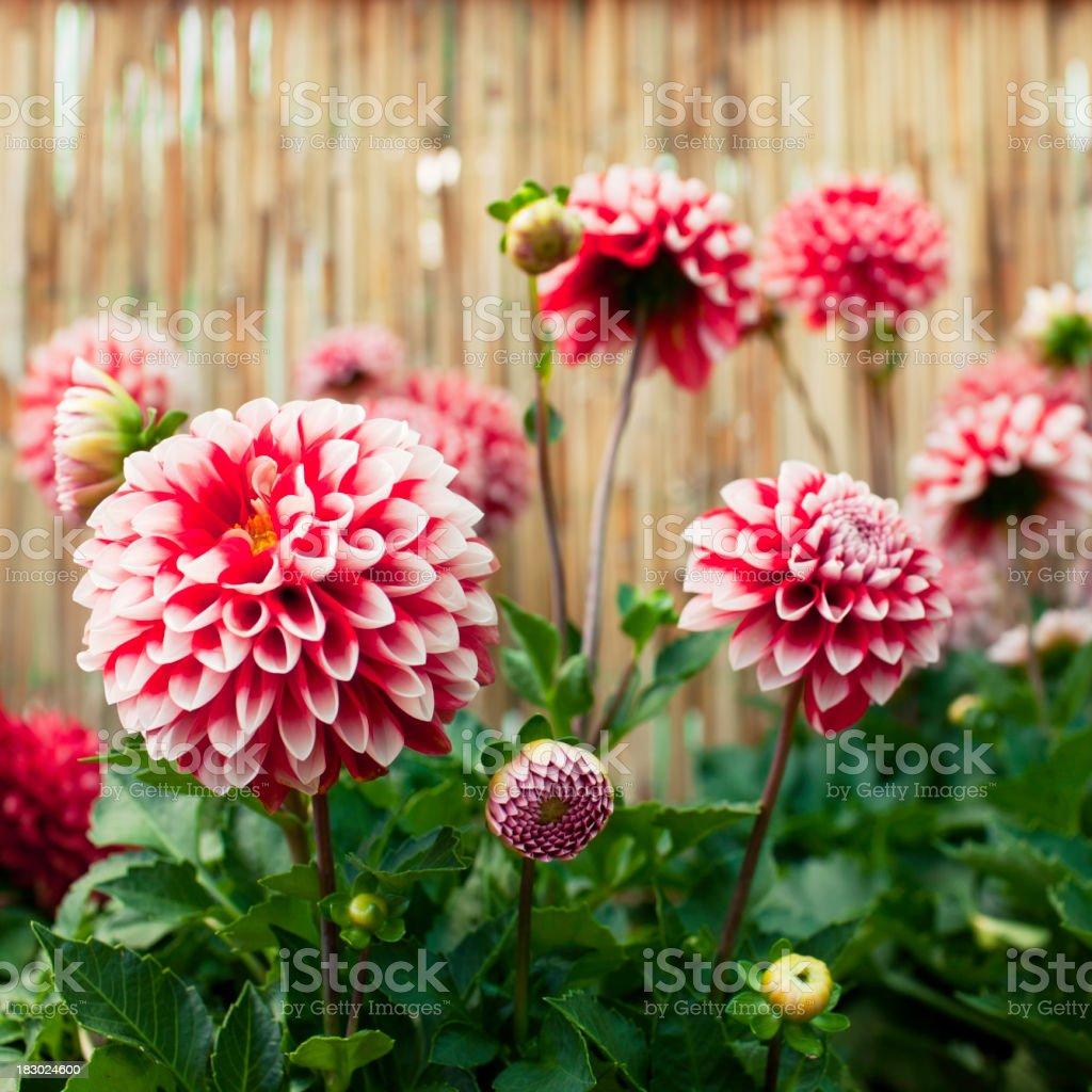 Dahlias in bloom stock photo