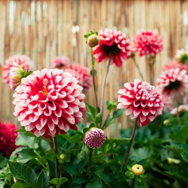 Dahlias em bloom - foto de acervo