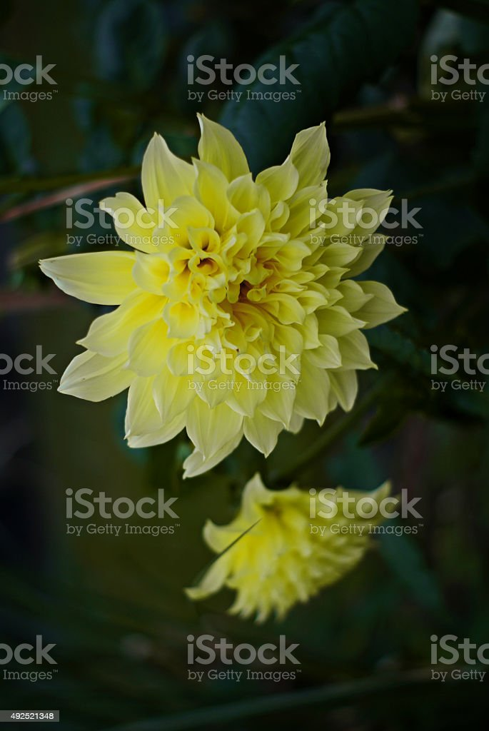 Dahlias in Bloom stock photo