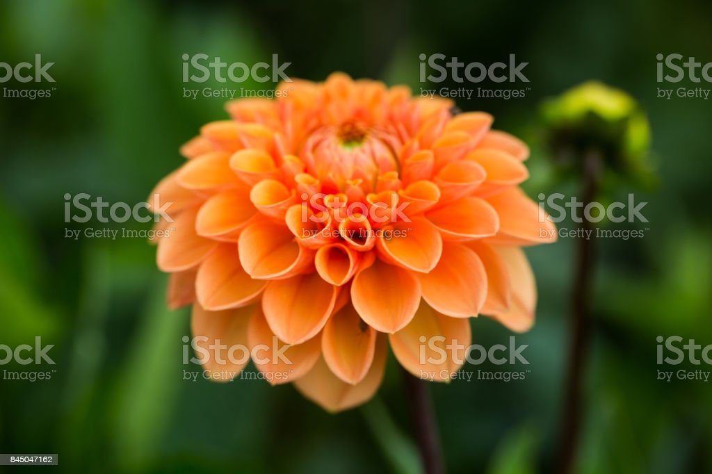 Dahlias in the field, for picking stock photo
