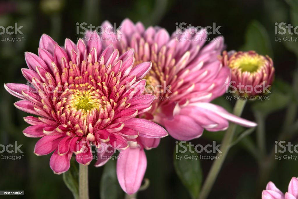 Dahlias royalty-free stock photo