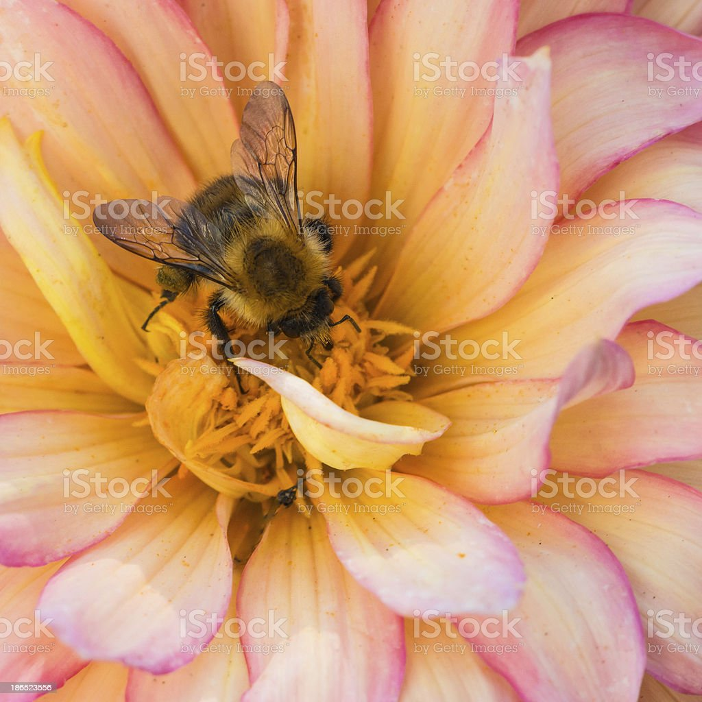 Daily Dahlia Collection royalty-free stock photo