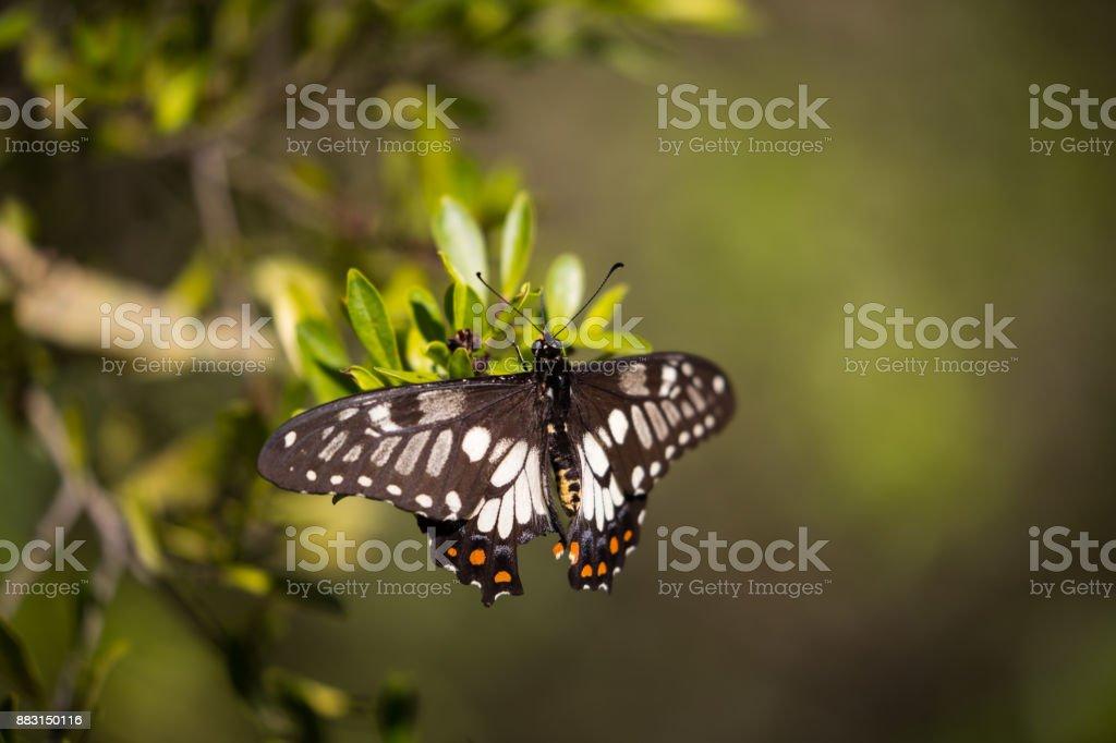 Dainty swallowtail stock photo