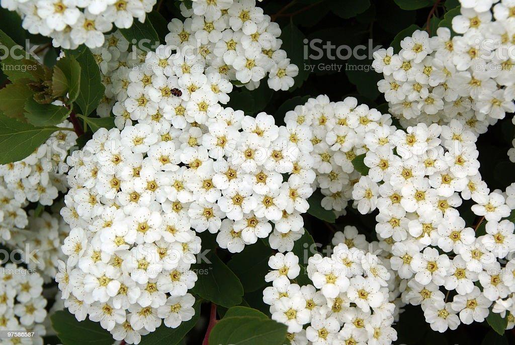 De délicates fleurs de fleur blanche pousse photo libre de droits