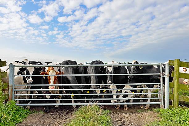 Bovino da latte prima di gateway nel prato - foto stock