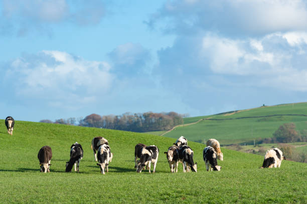 Dairy cattle in a field stock photo