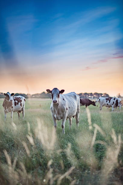 Dairy cattle in summer meadow at sunset. stock photo