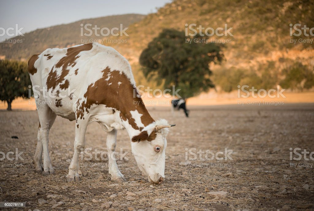 Dairy Cattle,  Turkey stock photo