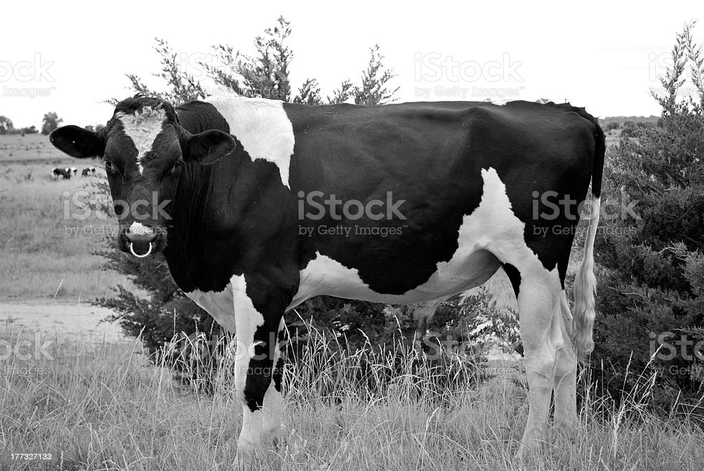 Dairy Cow Bull royalty-free stock photo