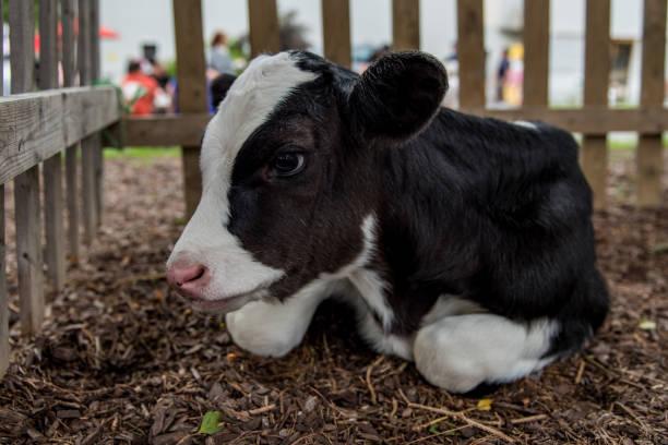 Dairy Cow Calf stock photo