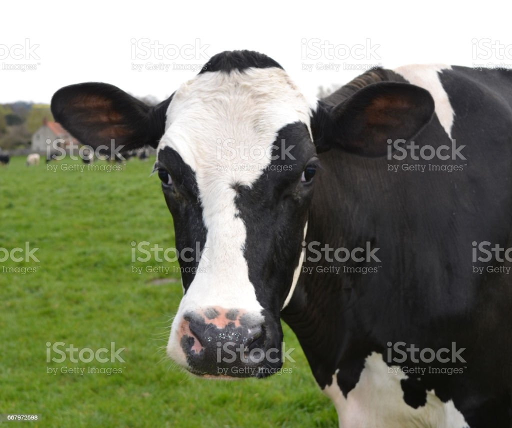 dairy cow close up stock photo