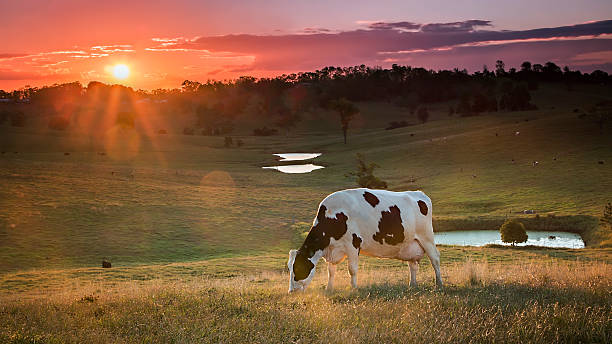 Dairy Cow Grazing at Sunset. Cow in pasture. dairy farm stock pictures, royalty-free photos & images