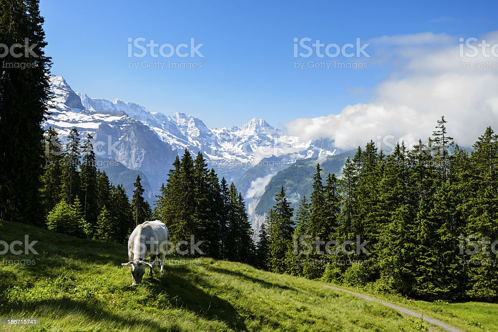 Dairy cow grazing in a meadow surrounded by mountains -XXXL royalty-free stock photo