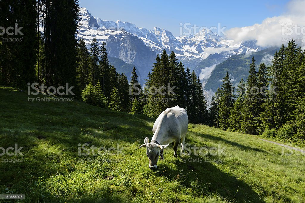 Dairy cow grazing in a meadow surrounded by mountains -XXXL stock photo