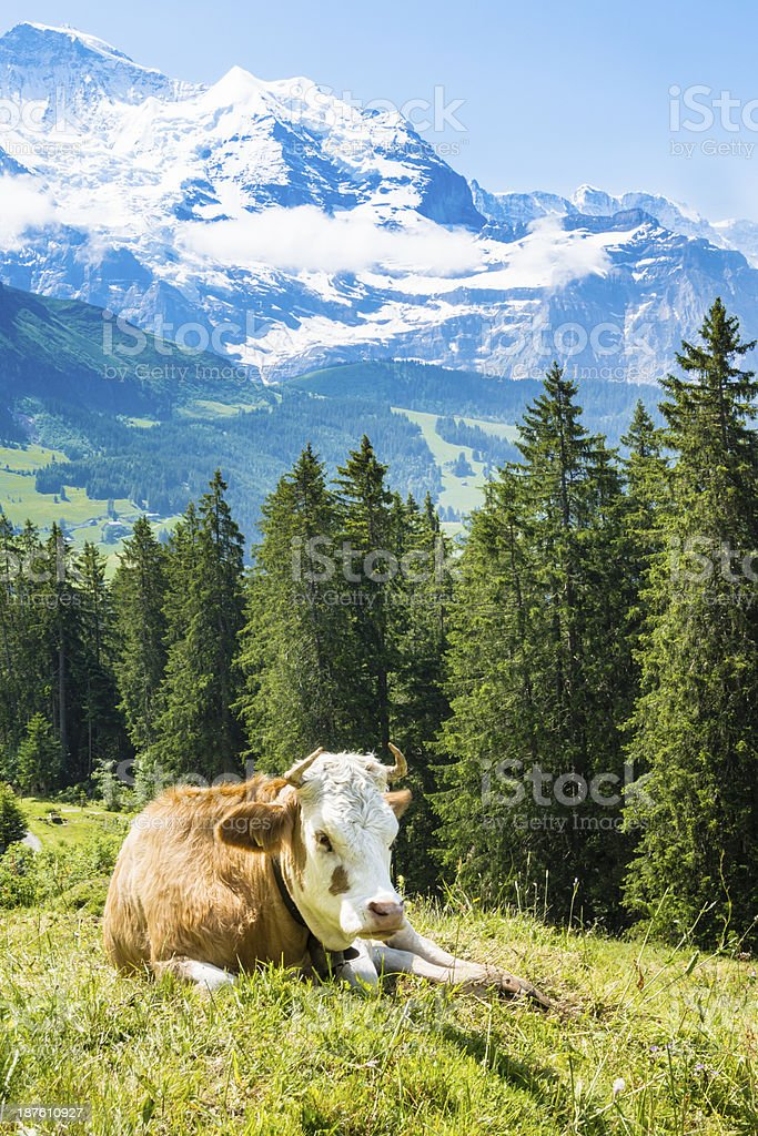 Dairy cow in a meadow surrounded by mountains stock photo