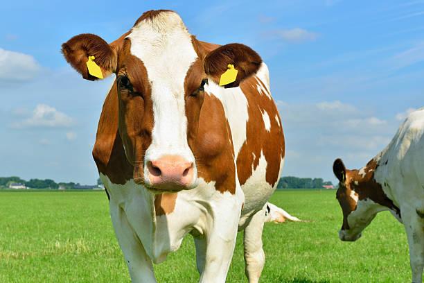 Mucca da latte in piedi davanti alla telecamera - foto stock