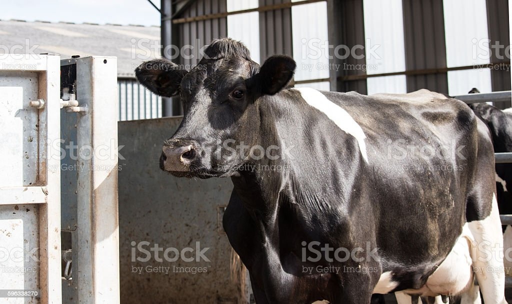 Dairy cow waiting to be milked royalty-free stock photo
