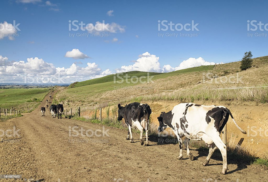 Dairy Cows After Milking royalty-free stock photo