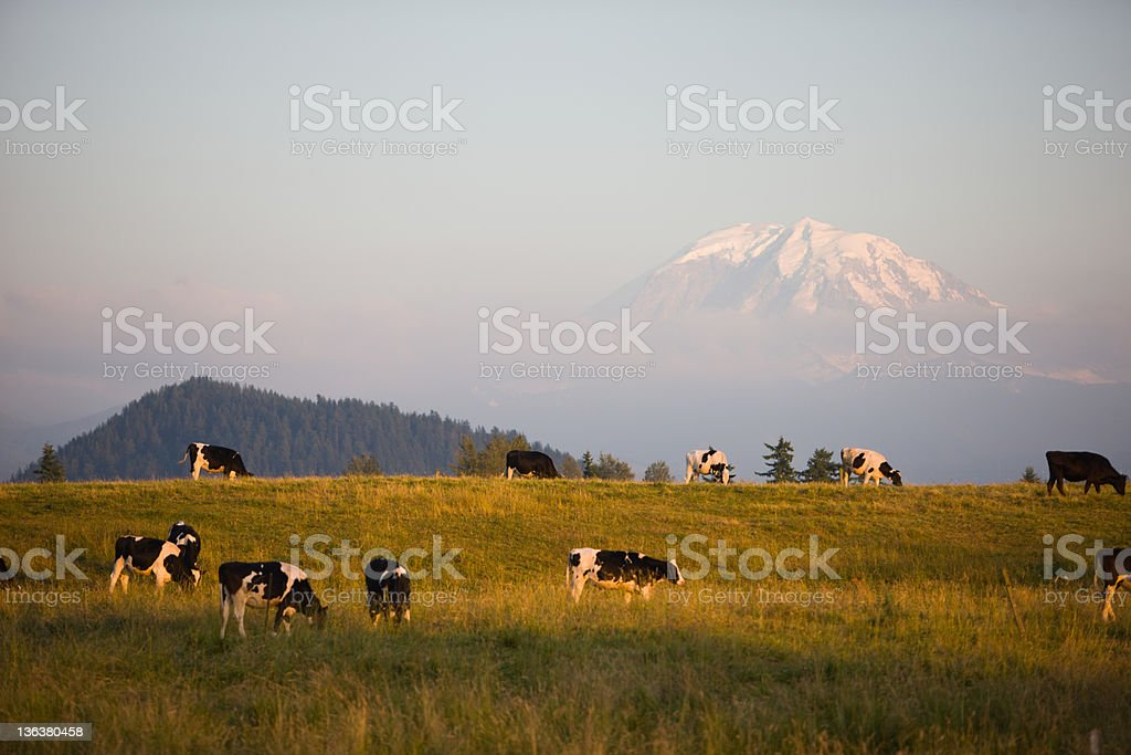 Dairy Cows at Sunset royalty-free stock photo