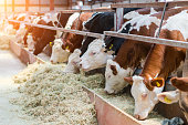 Dairy cows feeding in a free livestock stall