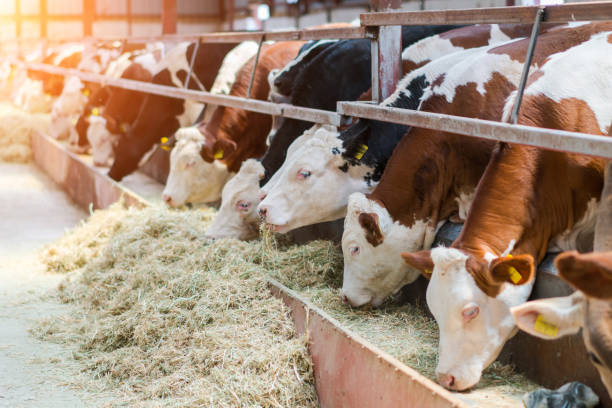 Dairy cows feeding in a free livestock stall Dairy cows feeding in a free livestock stall domestic cattle stock pictures, royalty-free photos & images