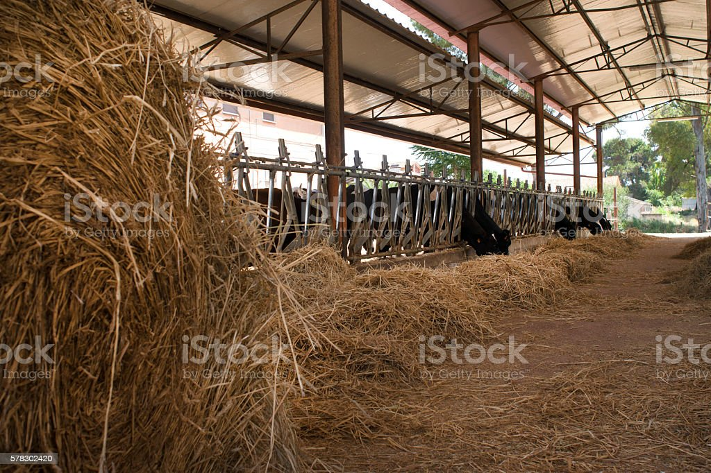 dairy cows in a cattle shed with hay bale stock photo