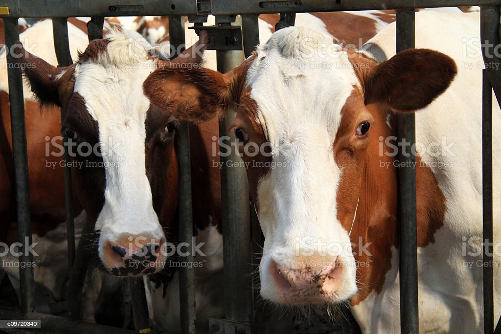 Dairy Cows In The Barn And Are Real Farm Animals Royalty Free Stock Photo