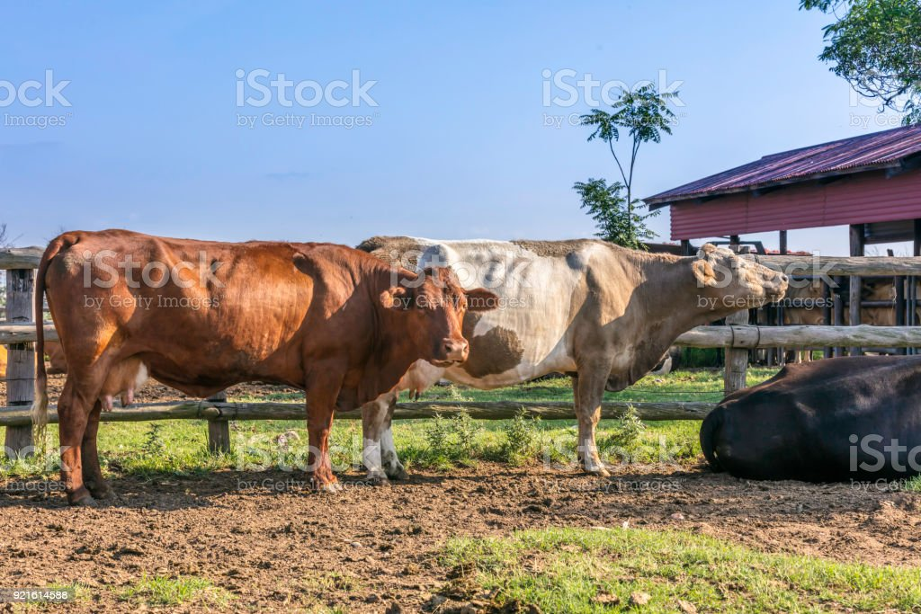 Dairy cows in the queue ready to get milked stock photo