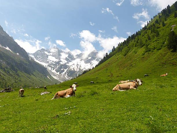 Dairy Kühe auf einer Viehweide in Tirol – Foto