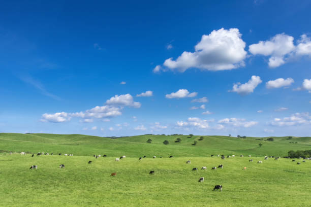 A dairy farm in Hokkaido,Japa Cow milk that grew up in Hokkaido is delicious Cheese is also delicious paddock stock pictures, royalty-free photos & images