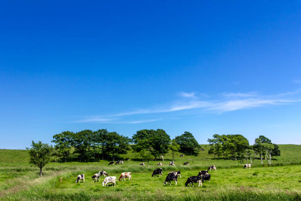A dairy farm in hokkaido,Japan Cow milk that grew up in Hokkaido is delicious  paddock stock pictures, royalty-free photos & images