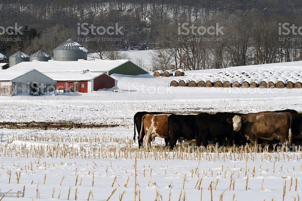 Dairy farm in the winter royalty-free stock photo