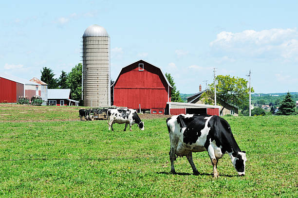 Dairy Farm Holstein cattle grazing on the farm. dairy farm stock pictures, royalty-free photos & images
