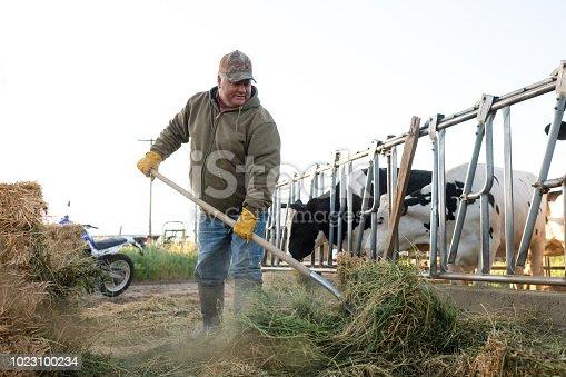 Dairy farmer feeding cattle alfalfa early morning sunlight