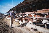 Full length farmer feeds cows in farm.