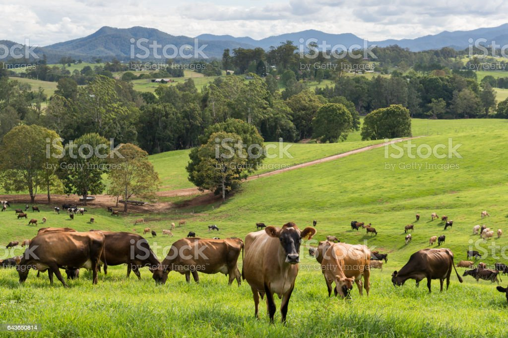 Dairy Farming Australia stock photo