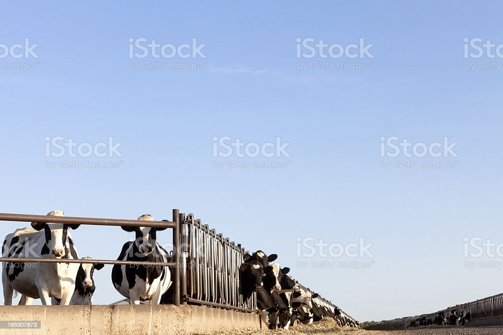 Dairy Holstein Cattle Cows Looking Standing stock photo