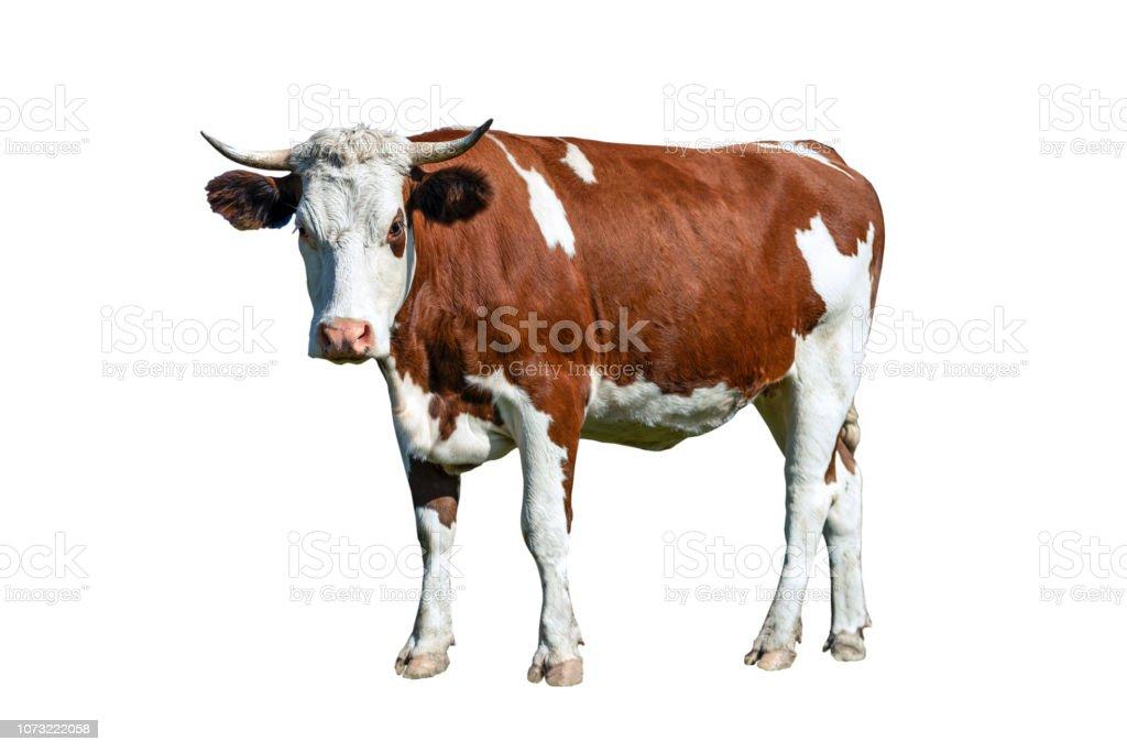Dairy white and brown cow stock photo