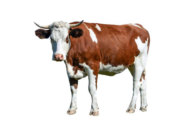 dairy white and brown cow - cow stock photos and pictures