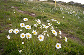 Daises flowers on field