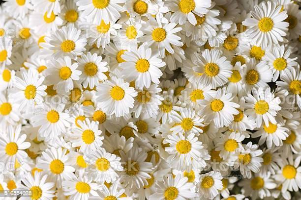 Daises flowers picture id516554028?b=1&k=6&m=516554028&s=612x612&h=4tqcyy4wporqvpicz obqpdzpyxpmvaucqxh8z8kn8m=