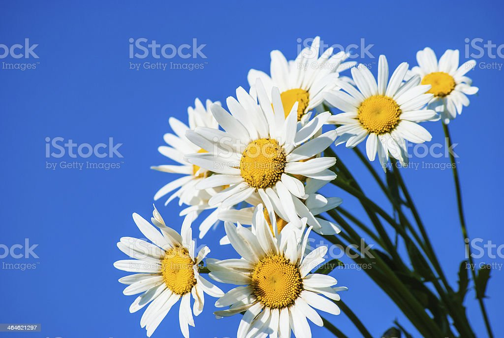 daisies against blue sky royalty-free stock photo